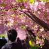 三浦海岸桜まつり2020