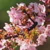 続「蝶屋桜の名所づくり」