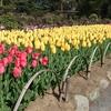 春の花・チューリップと八重桜・水芭蕉とアヒル