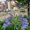 九大学研都市の梅雨時は青紫のアガパンサス♪