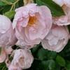 リージェンツパークでバラを見る