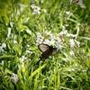 花にとまるアゲハチョウ