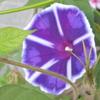 ペチュニアの花の色が気になる