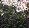 今年の桜④上野の桜
