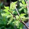 「トチ(栃)」や「ニュートンのリンゴの木」も花開く。