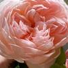 11月のベランダバラ達♪ 秋によく咲いたバラ