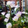昼咲き月見草という花の鉢植えの写真