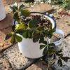 室内で植物を育てるのは難しい。。。シュガーバインのピンチ!
