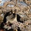 桜のお花見2021と柴犬の換毛期と