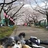 東白鬚公園までミントを前籠に乗せてサイクリング