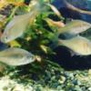 日本淡水魚を飼う🐟🐟🐟