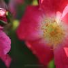 高知県モネの庭『バラ』(2)