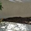 シェードガーデンにお洒落にカラーリーフを植えたい。