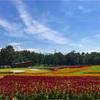 国営アルプスあづみの公園、ケイトウの花畑が見頃だよ!2017