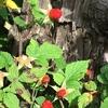 色も移ろい 花から果実へ♪