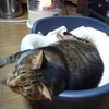 猫の甲状腺機能低下症??