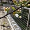 梨に花が咲いた!