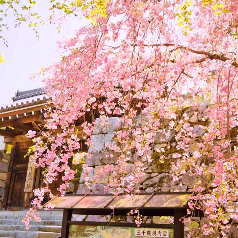 まだまだ桜を楽しめる!京都府内の遅咲き桜&八重桜 厳選3