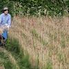 小麦の刈り取りとハサガケの備忘録