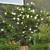 バラの植栽シミュレーション