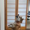 ドローンに反応する犬しない犬 - Mad at a Drone