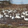 白鳥1 ~白鳥とマガン、田んぼで会食