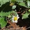 【イチゴ】開花の季節がやってきた!収穫までの日数はあとどのくらい?