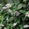 ブラックベリーの花 2015 5月