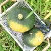 カボチャ収穫しました@新潟無農薬野菜