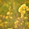 菜の花のキオク