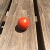 水耕栽培でミニトマト収穫した。