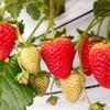 いちご狩り で 新鮮 ヘタの下まで真っ赤になった 苺を食べよう ~山口県柳井市 ANN~