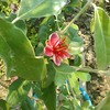 フェイジョアの花が咲いたぁぁぁぁぁぁ!
