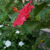 ハイビスカスの花