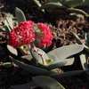 神刀の花は珊瑚のようです