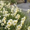 スイセンの花満開に 天草市牛深町の遠見山公園