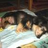 犬のクッシング症候群は、食事療法で治ります。