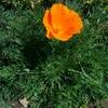 カリフォルニア原産植物