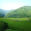 今年3度目の黄緑色の茶畑に
