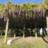 相馬神社の藤の花