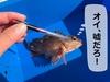 釣れた魚のエア抜きの仕方!