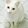 日本ねこ とは?(日本に固有種の猫はいた!?)