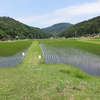 水稲採種田の管理