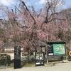 春の京都 桜の名所を巡る その1二条城