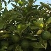 ニンニク栽培方法 (アスパラガスと混植)・・・品種選び、植え付け作業と土づくり、発芽、追肥