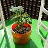 トマトの発芽から24日目 チェレンジ5月号 トマト栽培セット
