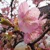 今年も、早い桜色に逢いに。『河津桜』