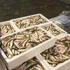 2017年2月7日 小浜漁港 お魚情報