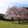 東大寺と桜/裏参道から講堂跡へ。ひっそりとしながら春を咲かせている。遠目にもやわらかく清々しい。