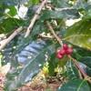 【番外編】コーヒー収穫体験